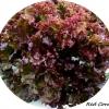เรดคอรัล (Red Coral)