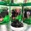 ชาเจียวกู่หลานชนิดใบชาเกรดA 100กรัม(ซื้อ1 แถม1) thumbnail 2